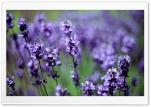 Lavender HD Wide Wallpaper for Widescreen