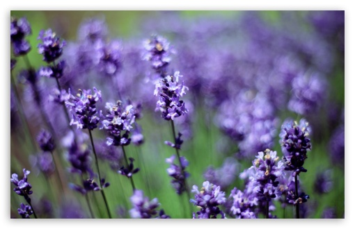 Lavender ❤ 4K UHD Wallpaper for Wide 16:10 5:3 Widescreen WHXGA WQXGA WUXGA WXGA WGA ; 4K UHD 16:9 Ultra High Definition 2160p 1440p 1080p 900p 720p ; UHD 16:9 2160p 1440p 1080p 900p 720p ; Standard 4:3 5:4 3:2 Fullscreen UXGA XGA SVGA QSXGA SXGA DVGA HVGA HQVGA ( Apple PowerBook G4 iPhone 4 3G 3GS iPod Touch ) ; Smartphone 5:3 WGA ; Tablet 1:1 ; iPad 1/2/Mini ; Mobile 4:3 5:3 3:2 16:9 5:4 - UXGA XGA SVGA WGA DVGA HVGA HQVGA ( Apple PowerBook G4 iPhone 4 3G 3GS iPod Touch ) 2160p 1440p 1080p 900p 720p QSXGA SXGA ;