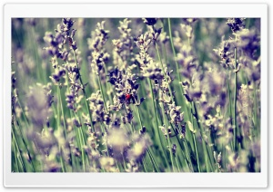 Lavender And A Ladybug HD Wide Wallpaper for Widescreen