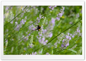 Lavender And Bee HD Wide Wallpaper for Widescreen
