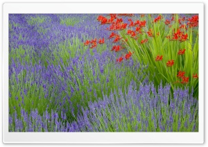 Lavender And Crocosmia HD Wide Wallpaper for Widescreen