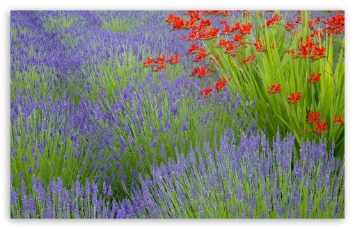 Lavender And Crocosmia ❤ 4K UHD Wallpaper for Wide 16:10 5:3 Widescreen WHXGA WQXGA WUXGA WXGA WGA ; 4K UHD 16:9 Ultra High Definition 2160p 1440p 1080p 900p 720p ; Standard 4:3 5:4 3:2 Fullscreen UXGA XGA SVGA QSXGA SXGA DVGA HVGA HQVGA ( Apple PowerBook G4 iPhone 4 3G 3GS iPod Touch ) ; Tablet 1:1 ; iPad 1/2/Mini ; Mobile 4:3 5:3 3:2 16:9 5:4 - UXGA XGA SVGA WGA DVGA HVGA HQVGA ( Apple PowerBook G4 iPhone 4 3G 3GS iPod Touch ) 2160p 1440p 1080p 900p 720p QSXGA SXGA ;