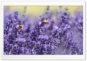 Lavender Bees HD Wide Wallpaper for Widescreen