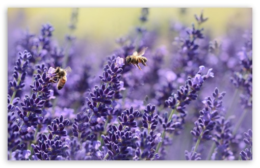 Lavender Bees ❤ 4K UHD Wallpaper for Wide 16:10 5:3 Widescreen WHXGA WQXGA WUXGA WXGA WGA ; UltraWide 21:9 ; 4K UHD 16:9 Ultra High Definition 2160p 1440p 1080p 900p 720p ; Standard 4:3 5:4 3:2 Fullscreen UXGA XGA SVGA QSXGA SXGA DVGA HVGA HQVGA ( Apple PowerBook G4 iPhone 4 3G 3GS iPod Touch ) ; Smartphone 16:9 3:2 5:3 2160p 1440p 1080p 900p 720p DVGA HVGA HQVGA ( Apple PowerBook G4 iPhone 4 3G 3GS iPod Touch ) WGA ; Tablet 1:1 ; iPad 1/2/Mini ; Mobile 4:3 5:3 3:2 16:9 5:4 - UXGA XGA SVGA WGA DVGA HVGA HQVGA ( Apple PowerBook G4 iPhone 4 3G 3GS iPod Touch ) 2160p 1440p 1080p 900p 720p QSXGA SXGA ; Dual 16:10 5:3 4:3 5:4 3:2 WHXGA WQXGA WUXGA WXGA WGA UXGA XGA SVGA QSXGA SXGA DVGA HVGA HQVGA ( Apple PowerBook G4 iPhone 4 3G 3GS iPod Touch ) ;