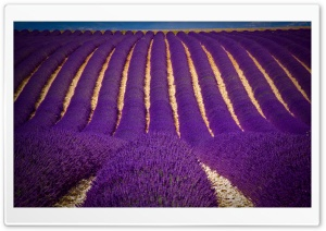 Lavender Field HD Wide Wallpaper for 4K UHD Widescreen desktop & smartphone