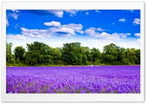 Lavender Field Ultra HD Wallpaper for 4K UHD Widescreen desktop, tablet & smartphone
