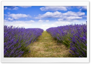 Lavender Field HD Wide Wallpaper for Widescreen