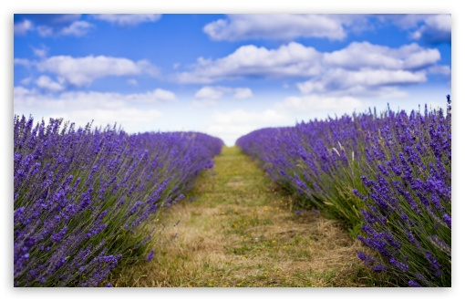 Lavender Field HD wallpaper for Wide 16:10 5:3 Widescreen WHXGA WQXGA WUXGA WXGA WGA ; HD 16:9 High Definition WQHD QWXGA 1080p 900p 720p QHD nHD ; UHD 16:9 WQHD QWXGA 1080p 900p 720p QHD nHD ; Standard 4:3 5:4 3:2 Fullscreen UXGA XGA SVGA QSXGA SXGA DVGA HVGA HQVGA devices ( Apple PowerBook G4 iPhone 4 3G 3GS iPod Touch ) ; Tablet 1:1 ; iPad 1/2/Mini ; Mobile 4:3 5:3 3:2 16:9 5:4 - UXGA XGA SVGA WGA DVGA HVGA HQVGA devices ( Apple PowerBook G4 iPhone 4 3G 3GS iPod Touch ) WQHD QWXGA 1080p 900p 720p QHD nHD QSXGA SXGA ; Dual 16:10 5:3 16:9 4:3 5:4 WHXGA WQXGA WUXGA WXGA WGA WQHD QWXGA 1080p 900p 720p QHD nHD UXGA XGA SVGA QSXGA SXGA ;