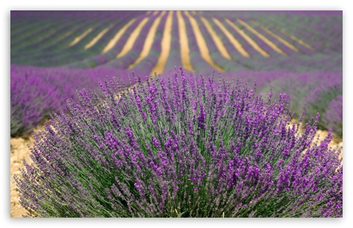 Lavender Field ❤ 4K UHD Wallpaper for Wide 16:10 5:3 Widescreen WHXGA WQXGA WUXGA WXGA WGA ; UltraWide 21:9 ; 4K UHD 16:9 Ultra High Definition 2160p 1440p 1080p 900p 720p ; Standard 4:3 5:4 3:2 Fullscreen UXGA XGA SVGA QSXGA SXGA DVGA HVGA HQVGA ( Apple PowerBook G4 iPhone 4 3G 3GS iPod Touch ) ; Smartphone 16:9 3:2 5:3 2160p 1440p 1080p 900p 720p DVGA HVGA HQVGA ( Apple PowerBook G4 iPhone 4 3G 3GS iPod Touch ) WGA ; Tablet 1:1 ; iPad 1/2/Mini ; Mobile 4:3 5:3 3:2 16:9 5:4 - UXGA XGA SVGA WGA DVGA HVGA HQVGA ( Apple PowerBook G4 iPhone 4 3G 3GS iPod Touch ) 2160p 1440p 1080p 900p 720p QSXGA SXGA ; Dual 16:10 5:3 16:9 4:3 5:4 3:2 WHXGA WQXGA WUXGA WXGA WGA 2160p 1440p 1080p 900p 720p UXGA XGA SVGA QSXGA SXGA DVGA HVGA HQVGA ( Apple PowerBook G4 iPhone 4 3G 3GS iPod Touch ) ;