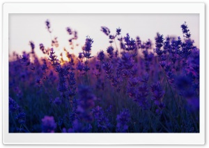 Lavender Field And Sunset HD Wide Wallpaper for Widescreen
