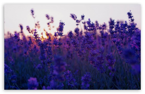 Lavender Field And Sunset ❤ 4K UHD Wallpaper for Wide 16:10 5:3 Widescreen WHXGA WQXGA WUXGA WXGA WGA ; 4K UHD 16:9 Ultra High Definition 2160p 1440p 1080p 900p 720p ; Standard 4:3 5:4 3:2 Fullscreen UXGA XGA SVGA QSXGA SXGA DVGA HVGA HQVGA ( Apple PowerBook G4 iPhone 4 3G 3GS iPod Touch ) ; Tablet 1:1 ; iPad 1/2/Mini ; Mobile 4:3 5:3 3:2 16:9 5:4 - UXGA XGA SVGA WGA DVGA HVGA HQVGA ( Apple PowerBook G4 iPhone 4 3G 3GS iPod Touch ) 2160p 1440p 1080p 900p 720p QSXGA SXGA ;