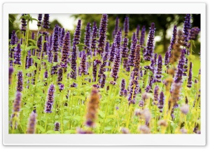 Lavender Flower Background HD Wide Wallpaper for Widescreen