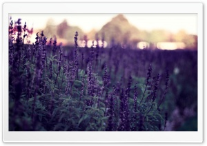 Lavender Flowers HD Wide Wallpaper for Widescreen