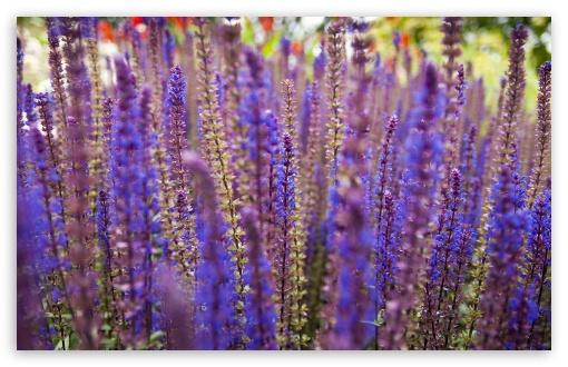Lavender Flowers HD wallpaper for Wide 16:10 5:3 Widescreen WHXGA WQXGA WUXGA WXGA WGA ; HD 16:9 High Definition WQHD QWXGA 1080p 900p 720p QHD nHD ; Standard 4:3 5:4 3:2 Fullscreen UXGA XGA SVGA QSXGA SXGA DVGA HVGA HQVGA devices ( Apple PowerBook G4 iPhone 4 3G 3GS iPod Touch ) ; Tablet 1:1 ; iPad 1/2/Mini ; Mobile 4:3 5:3 3:2 16:9 5:4 - UXGA XGA SVGA WGA DVGA HVGA HQVGA devices ( Apple PowerBook G4 iPhone 4 3G 3GS iPod Touch ) WQHD QWXGA 1080p 900p 720p QHD nHD QSXGA SXGA ;