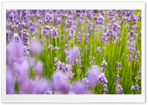 Lavender Flowers HD Wide Wallpaper for 4K UHD Widescreen desktop & smartphone
