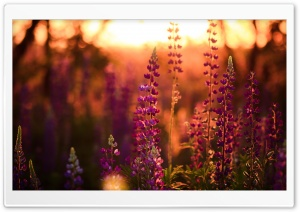 Lavender, Lupine HD Wide Wallpaper for Widescreen