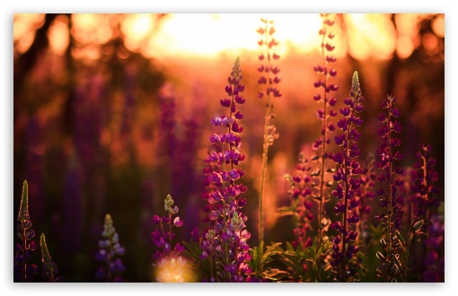 Lavender, Lupine HD wallpaper for Wide 16:10 5:3 Widescreen WHXGA WQXGA WUXGA WXGA WGA ; HD 16:9 High Definition WQHD QWXGA 1080p 900p 720p QHD nHD ; UHD 16:9 WQHD QWXGA 1080p 900p 720p QHD nHD ; Standard 4:3 5:4 3:2 Fullscreen UXGA XGA SVGA QSXGA SXGA DVGA HVGA HQVGA devices ( Apple PowerBook G4 iPhone 4 3G 3GS iPod Touch ) ; Smartphone 5:3 WGA ; Tablet 1:1 ; iPad 1/2/Mini ; Mobile 4:3 5:3 3:2 16:9 5:4 - UXGA XGA SVGA WGA DVGA HVGA HQVGA devices ( Apple PowerBook G4 iPhone 4 3G 3GS iPod Touch ) WQHD QWXGA 1080p 900p 720p QHD nHD QSXGA SXGA ; Dual 16:10 5:3 16:9 4:3 5:4 WHXGA WQXGA WUXGA WXGA WGA WQHD QWXGA 1080p 900p 720p QHD nHD UXGA XGA SVGA QSXGA SXGA ;