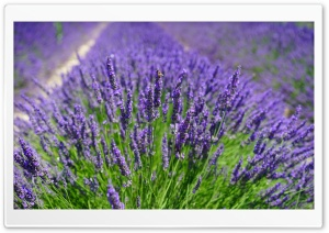Lavender Plants HD Wide Wallpaper for Widescreen