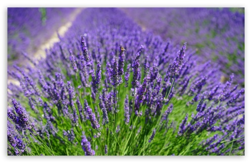 Lavender Plants HD wallpaper for Wide 16:10 5:3 Widescreen WHXGA WQXGA WUXGA WXGA WGA ; UltraWide 21:9 24:10 ; HD 16:9 High Definition WQHD QWXGA 1080p 900p 720p QHD nHD ; UHD 16:9 WQHD QWXGA 1080p 900p 720p QHD nHD ; Standard 4:3 5:4 3:2 Fullscreen UXGA XGA SVGA QSXGA SXGA DVGA HVGA HQVGA devices ( Apple PowerBook G4 iPhone 4 3G 3GS iPod Touch ) ; Smartphone 16:9 3:2 5:3 WQHD QWXGA 1080p 900p 720p QHD nHD DVGA HVGA HQVGA devices ( Apple PowerBook G4 iPhone 4 3G 3GS iPod Touch ) WGA ; Tablet 1:1 ; iPad 1/2/Mini ; Mobile 4:3 5:3 3:2 16:9 5:4 - UXGA XGA SVGA WGA DVGA HVGA HQVGA devices ( Apple PowerBook G4 iPhone 4 3G 3GS iPod Touch ) WQHD QWXGA 1080p 900p 720p QHD nHD QSXGA SXGA ; Dual 16:10 5:3 16:9 4:3 5:4 3:2 WHXGA WQXGA WUXGA WXGA WGA WQHD QWXGA 1080p 900p 720p QHD nHD UXGA XGA SVGA QSXGA SXGA DVGA HVGA HQVGA devices ( Apple PowerBook G4 iPhone 4 3G 3GS iPod Touch ) ; Triple 16:10 5:3 16:9 4:3 5:4 3:2 WHXGA WQXGA WUXGA WXGA WGA WQHD QWXGA 1080p 900p 720p QHD nHD UXGA XGA SVGA QSXGA SXGA DVGA HVGA HQVGA devices ( Apple PowerBook G4 iPhone 4 3G 3GS iPod Touch ) ;