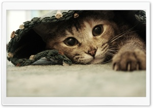 Lazy Kitten HD Wide Wallpaper for Widescreen
