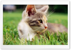 Lazy Kitten In Grass HD Wide Wallpaper for 4K UHD Widescreen desktop & smartphone