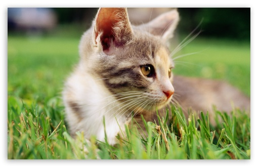 Lazy Kitten In Grass HD wallpaper for Wide 16:10 5:3 Widescreen WHXGA WQXGA WUXGA WXGA WGA ; HD 16:9 High Definition WQHD QWXGA 1080p 900p 720p QHD nHD ; Standard 4:3 5:4 3:2 Fullscreen UXGA XGA SVGA QSXGA SXGA DVGA HVGA HQVGA devices ( Apple PowerBook G4 iPhone 4 3G 3GS iPod Touch ) ; Tablet 1:1 ; iPad 1/2/Mini ; Mobile 4:3 5:3 3:2 16:9 5:4 - UXGA XGA SVGA WGA DVGA HVGA HQVGA devices ( Apple PowerBook G4 iPhone 4 3G 3GS iPod Touch ) WQHD QWXGA 1080p 900p 720p QHD nHD QSXGA SXGA ;