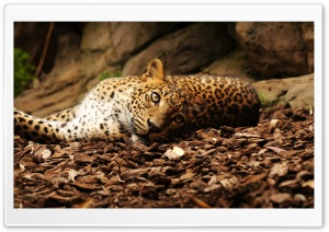 Lazy Leopard HD Wide Wallpaper for Widescreen