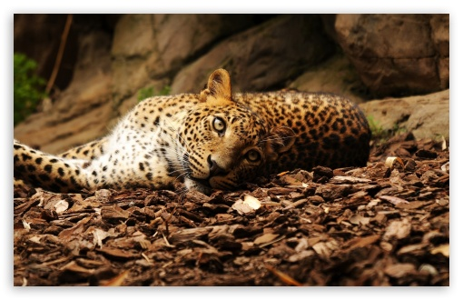 Lazy Leopard HD wallpaper for Standard 4:3 5:4 Fullscreen UXGA XGA SVGA QSXGA SXGA ; Wide 16:10 5:3 Widescreen WHXGA WQXGA WUXGA WXGA WGA ; HD 16:9 High Definition WQHD QWXGA 1080p 900p 720p QHD nHD ; Other 3:2 DVGA HVGA HQVGA devices ( Apple PowerBook G4 iPhone 4 3G 3GS iPod Touch ) ; Mobile VGA WVGA iPhone iPad PSP Phone - VGA QVGA Smartphone ( PocketPC GPS iPod Zune BlackBerry HTC Samsung LG Nokia Eten Asus ) WVGA WQVGA Smartphone ( HTC Samsung Sony Ericsson LG Vertu MIO ) HVGA Smartphone ( Apple iPhone iPod BlackBerry HTC Samsung Nokia ) Sony PSP Zune HD Zen ; Dual 4:3 5:4 16:10 5:3 UXGA XGA SVGA QSXGA SXGA WHXGA WQXGA WUXGA WXGA WGA ;