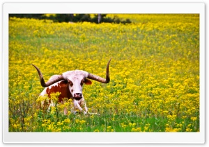 Lazy Longhorn HD Wide Wallpaper for Widescreen