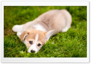 Lazy Pembroke Welsh Corgi Puppy HD Wide Wallpaper for 4K UHD Widescreen desktop & smartphone