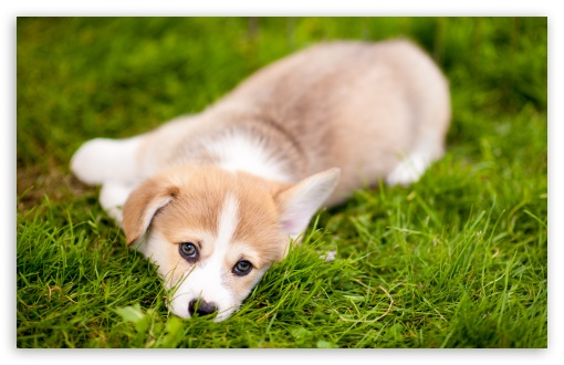 Lazy Pembroke Welsh Corgi Puppy ❤ 4K UHD Wallpaper for Wide 16:10 5:3 Widescreen WHXGA WQXGA WUXGA WXGA WGA ; 4K UHD 16:9 Ultra High Definition 2160p 1440p 1080p 900p 720p ; Standard 4:3 5:4 3:2 Fullscreen UXGA XGA SVGA QSXGA SXGA DVGA HVGA HQVGA ( Apple PowerBook G4 iPhone 4 3G 3GS iPod Touch ) ; Smartphone 16:9 3:2 5:3 2160p 1440p 1080p 900p 720p DVGA HVGA HQVGA ( Apple PowerBook G4 iPhone 4 3G 3GS iPod Touch ) WGA ; Tablet 1:1 ; iPad 1/2/Mini ; Mobile 4:3 5:3 3:2 16:9 5:4 - UXGA XGA SVGA WGA DVGA HVGA HQVGA ( Apple PowerBook G4 iPhone 4 3G 3GS iPod Touch ) 2160p 1440p 1080p 900p 720p QSXGA SXGA ;