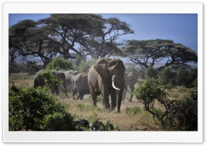 Leader of the Elephants HD Wide Wallpaper for Widescreen