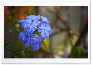 Leadwort HD Wide Wallpaper for Widescreen