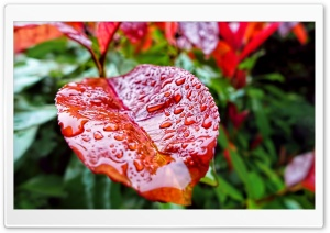 Leaf Drops HD Wide Wallpaper for Widescreen