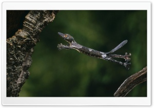 Leaf Tailed Gecko HD Wide Wallpaper for Widescreen