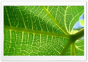 Leaf Veins 11 HD Wide Wallpaper for Widescreen