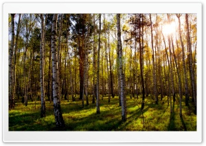 Leafless Birch Forest HD Wide Wallpaper for Widescreen