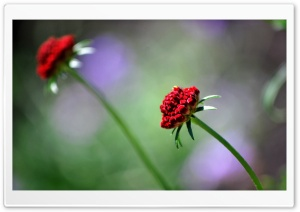 Leaning Red Flowers Ultra HD Wallpaper for 4K UHD Widescreen desktop, tablet & smartphone