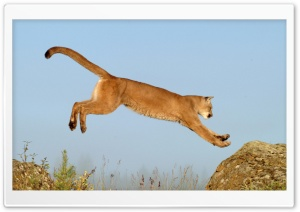 Leaping Cougar Montana HD Wide Wallpaper for 4K UHD Widescreen desktop & smartphone