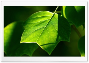 Leaves HD Wide Wallpaper for Widescreen