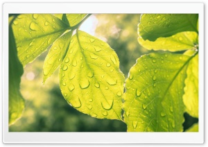 Leaves and Droplets HD Wide Wallpaper for Widescreen