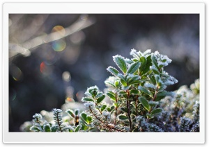 Leaves Covered in Hoar Frost HD Wide Wallpaper for Widescreen