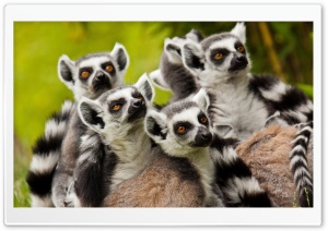 Lemurs Animals HD Wide Wallpaper for Widescreen