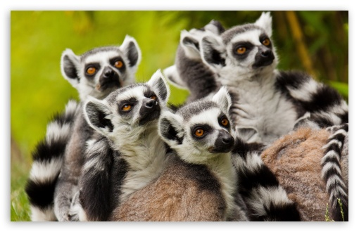 Lemurs Animals ❤ 4K UHD Wallpaper for Wide 16:10 5:3 Widescreen WHXGA WQXGA WUXGA WXGA WGA ; 4K UHD 16:9 Ultra High Definition 2160p 1440p 1080p 900p 720p ; Standard 4:3 5:4 3:2 Fullscreen UXGA XGA SVGA QSXGA SXGA DVGA HVGA HQVGA ( Apple PowerBook G4 iPhone 4 3G 3GS iPod Touch ) ; Tablet 1:1 ; iPad 1/2/Mini ; Mobile 4:3 5:3 3:2 16:9 5:4 - UXGA XGA SVGA WGA DVGA HVGA HQVGA ( Apple PowerBook G4 iPhone 4 3G 3GS iPod Touch ) 2160p 1440p 1080p 900p 720p QSXGA SXGA ;