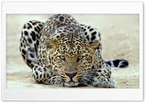 Leopard Ultra HD Wallpaper for 4K UHD Widescreen desktop, tablet & smartphone