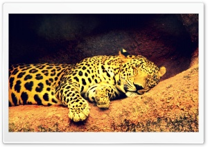 Leopard HD Wide Wallpaper for 4K UHD Widescreen desktop & smartphone