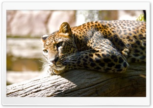 Leopard Ultra HD Wallpaper for 4K UHD Widescreen desktop, tablet & smartphone