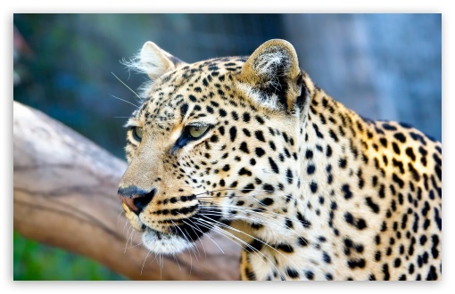 Leopard ❤ 4K UHD Wallpaper for Wide 16:10 5:3 Widescreen WHXGA WQXGA WUXGA WXGA WGA ; 4K UHD 16:9 Ultra High Definition 2160p 1440p 1080p 900p 720p ; Standard 4:3 5:4 3:2 Fullscreen UXGA XGA SVGA QSXGA SXGA DVGA HVGA HQVGA ( Apple PowerBook G4 iPhone 4 3G 3GS iPod Touch ) ; Tablet 1:1 ; iPad 1/2/Mini ; Mobile 4:3 5:3 3:2 16:9 5:4 - UXGA XGA SVGA WGA DVGA HVGA HQVGA ( Apple PowerBook G4 iPhone 4 3G 3GS iPod Touch ) 2160p 1440p 1080p 900p 720p QSXGA SXGA ;
