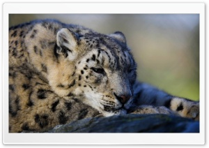 Leopard HD Wide Wallpaper for Widescreen