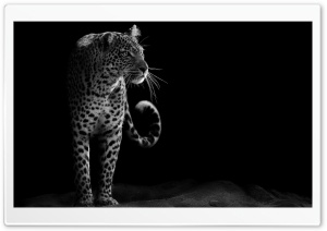 Leopard Black and White HD Wide Wallpaper for 4K UHD Widescreen desktop & smartphone